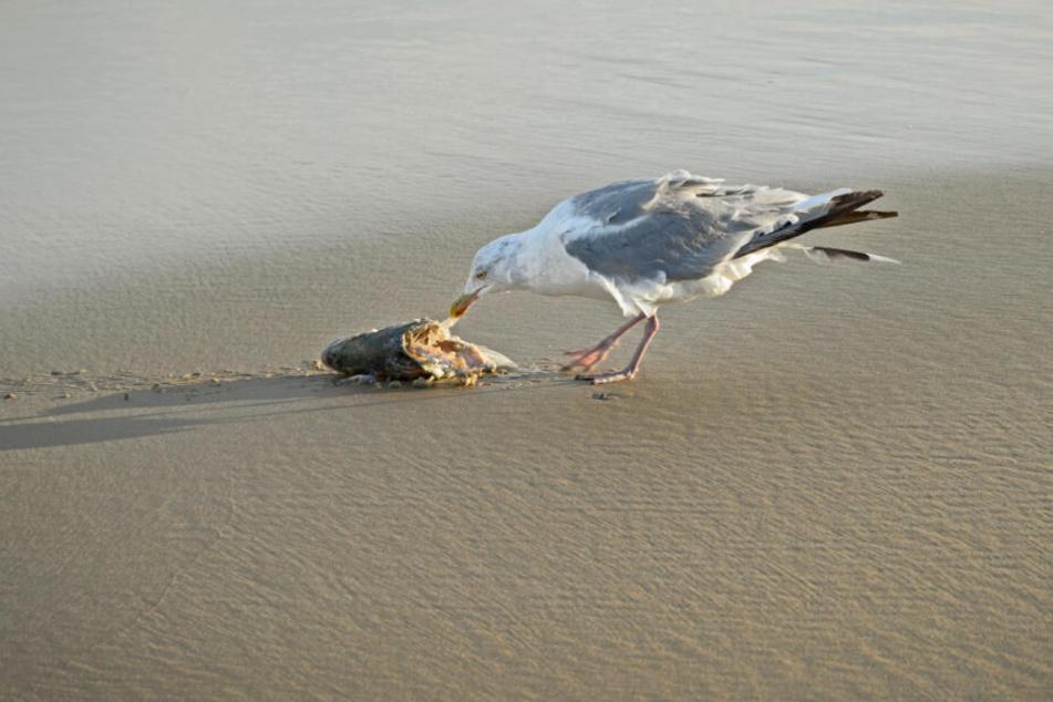 Eine Möwe pickt im Kadaver eines toten Fisches herum.