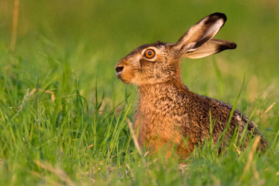 Hasenpest ausgebrochen: Tödliche Tier-Krankheit befällt auch Menschen
