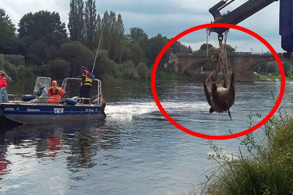 Hier wird ein riesiges Wildschwein aus der Elbe gefischt