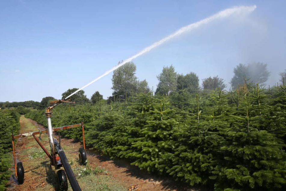 Nicht jeder Erzeuger bewässert die Pflanzen - mit Blick auf die Kosten.