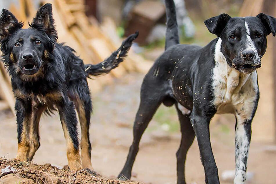 Laut Zeugen waren acht Hunde an der Attacke beteiligt (Symbolbild).