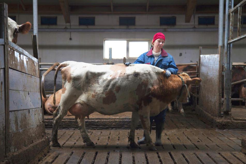 Inga (Arndís Hrönn Egilsdóttir) muss sich nun alleine um die vielen Kühe kümmern.