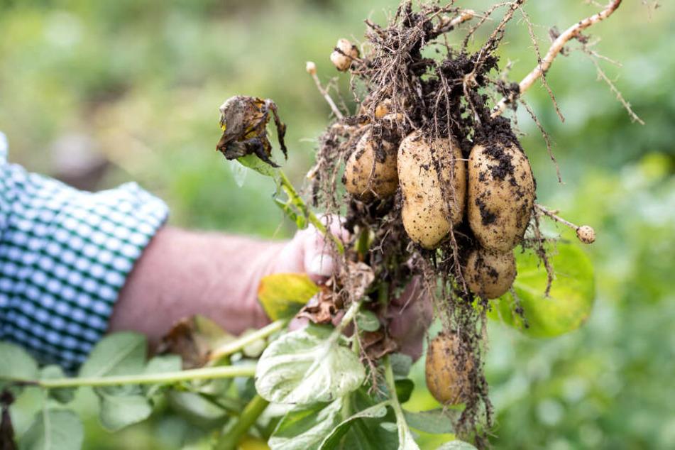 Knolle für den Klimawandel: Forscher entwickeln besondere Kartoffel