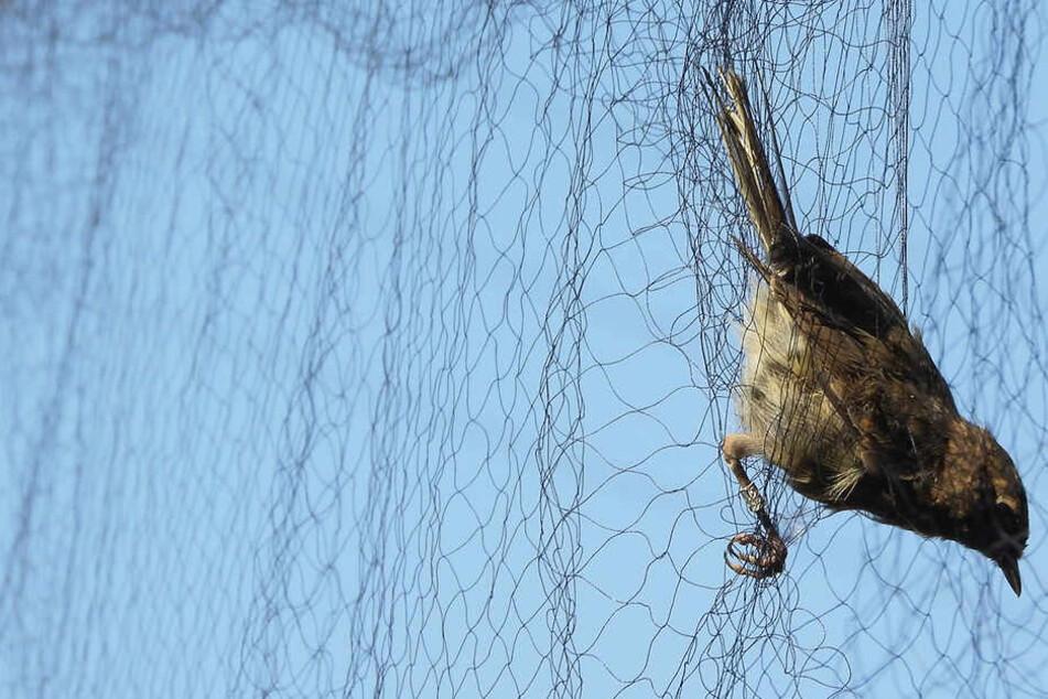 Ein Vogel hat sich in dem Netz aus dünnen Kunststofffäden verfangen.