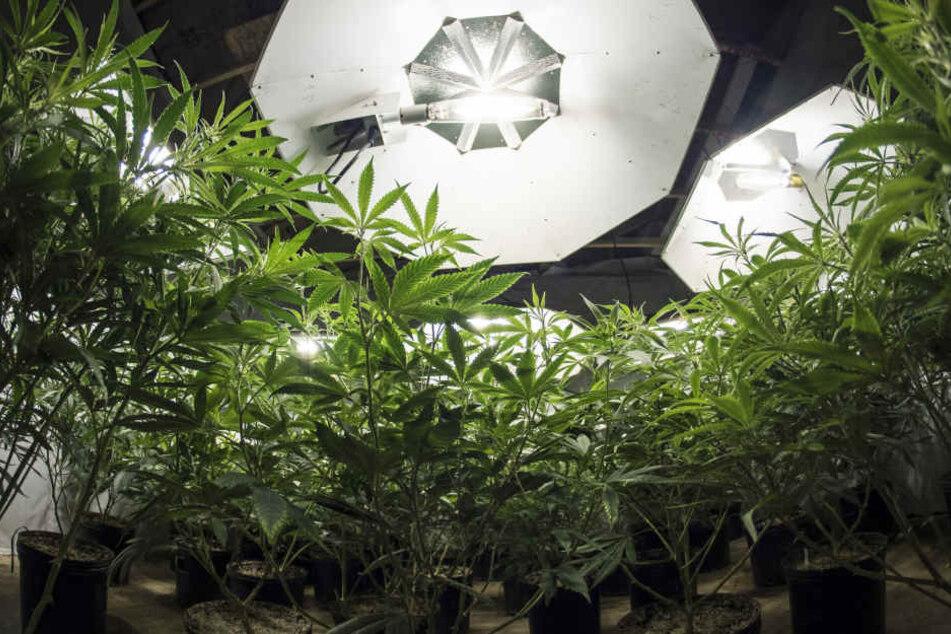 Auf einem Dachboden in Zwickau wurden mehrere kleine Cannabispflanzen entdeckt. (Symbolbild)