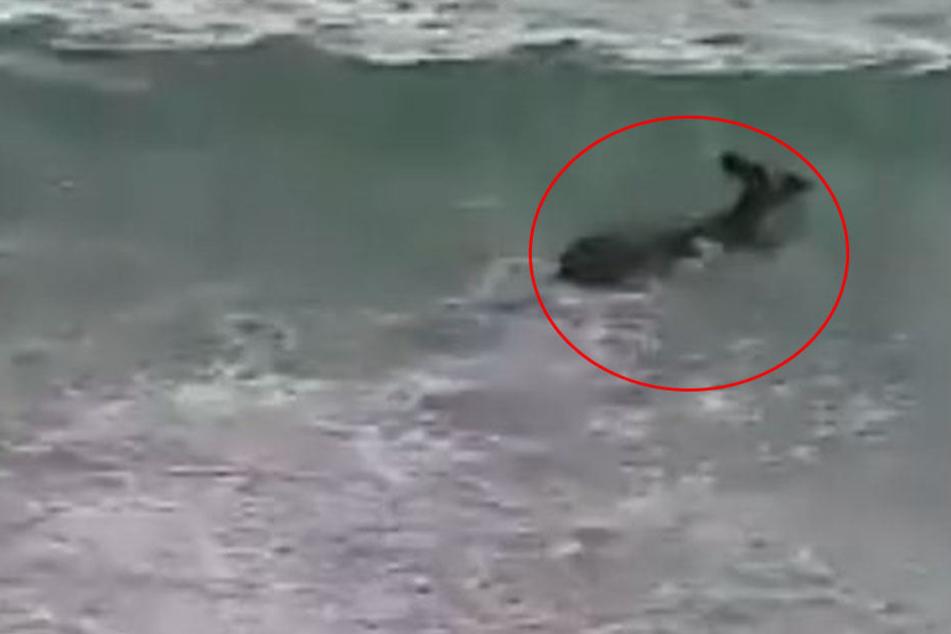 Drama am Strand: Känguru von Polizei wiederbelebt