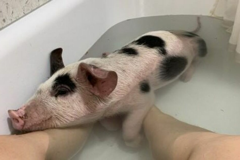 """Vegane Aktivistin """"rettet"""" Schweinchen, dann hagelt es Kritik von Tierschützern"""