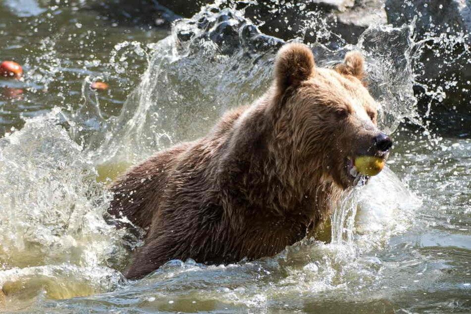 Die Braunbären waren zum Zeitpunkt ihres Todes komplett gesund. (Symbolbild)