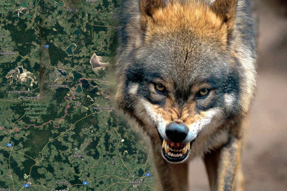 Wenn sie diese Grenze überschreiten, herrscht für Sachsens Wölfe Lebensgefahr
