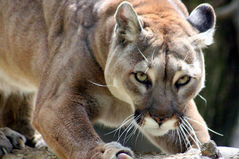 Puma verschleppt Mountainbiker in seine Höhle und tötet ihn