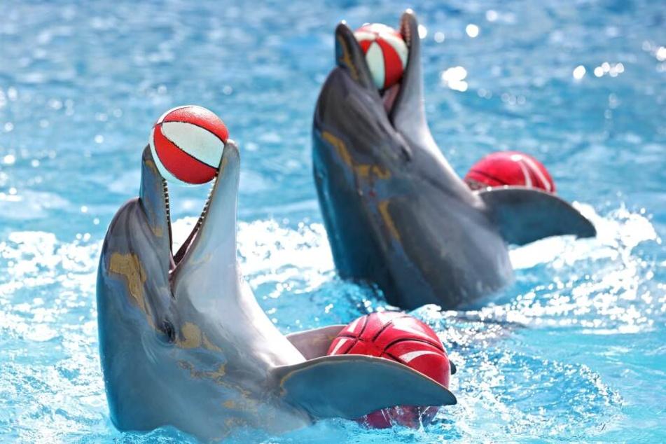 """Delfine """"spielen"""" in Gefangenschaft. (Symbolbild)"""