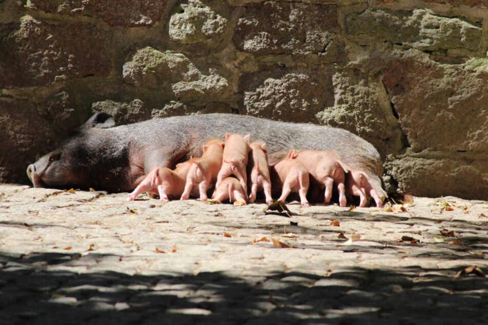 Da wird's eng am Bauch der Mama: Teilweise übereinander gestapelt versuchen acht Ferkel, an die leckere Milch ihrer Mutter zu kommen.