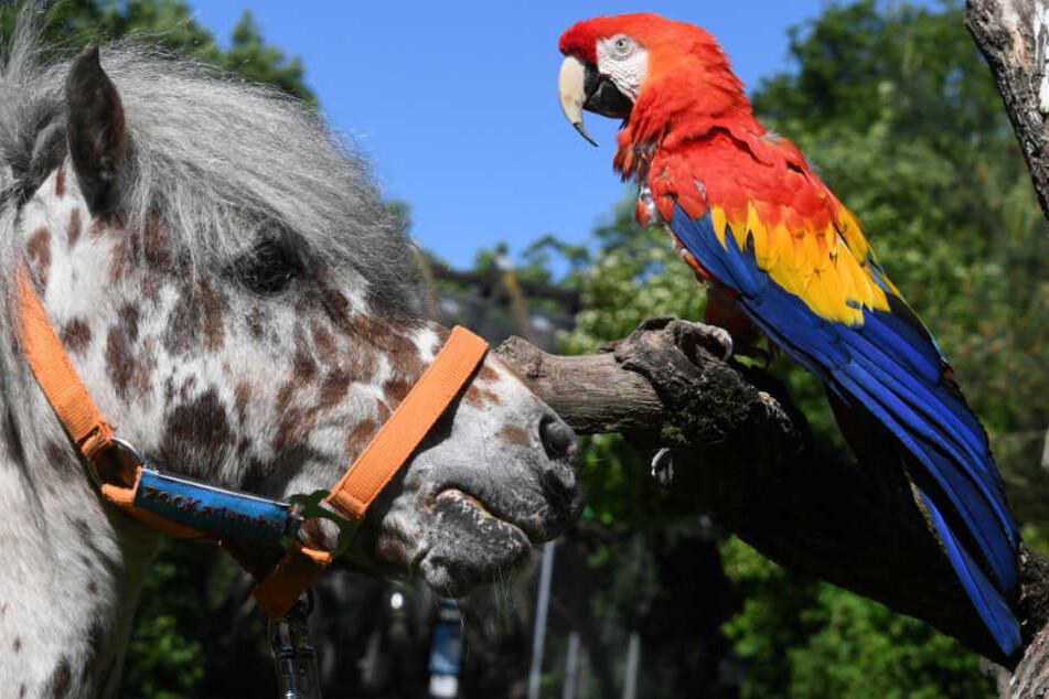 "Pippi-Langstrumpf-Papagei ""Rosalinda"" gestorben"