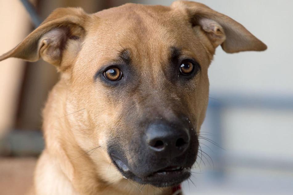 Ein junger Hund ist von einem Schäfer in Torgau am Auto mitgeschleift worden (Symbolbild).