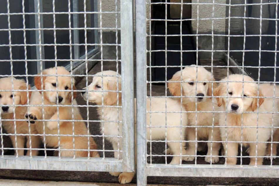In NRW wurde von 2016 bis 2018 in 417 Fällen wegen illegalen Handels mit Hundewelpen ermittelt (Symbolbild).