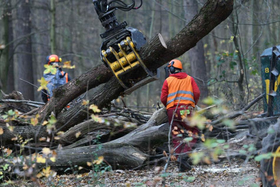 Arbeiter räumen Bäume, die zum Barrikadenbau auf den Wegen liegen, im Hambacher Forst.