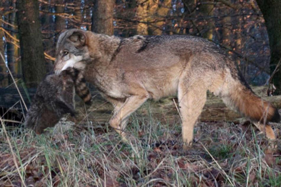 Ein Wolf trägt einen Waschbär in seinem Maul. (Symbolbild)