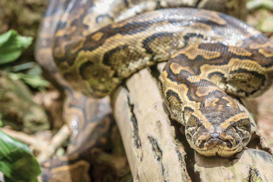 Panik! 3,5 Meter lange Python aus Wohnung entkommen