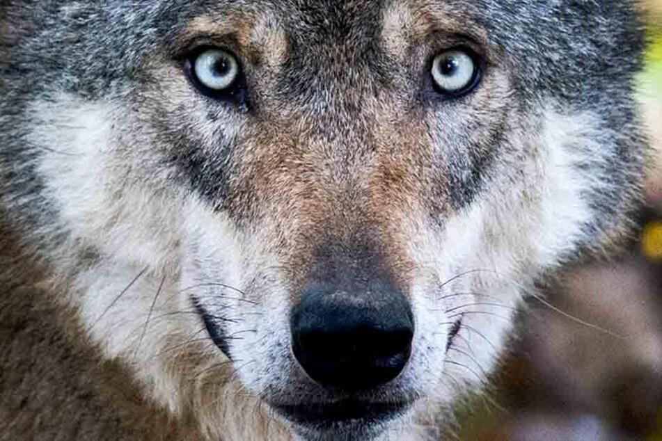 War es ein Wolf? Im Südharz soll ein Isegrim aufgetaucht sein. (Symbolbild)