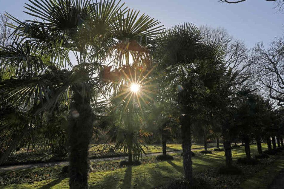 Die Palmen in der Flora Köln.
