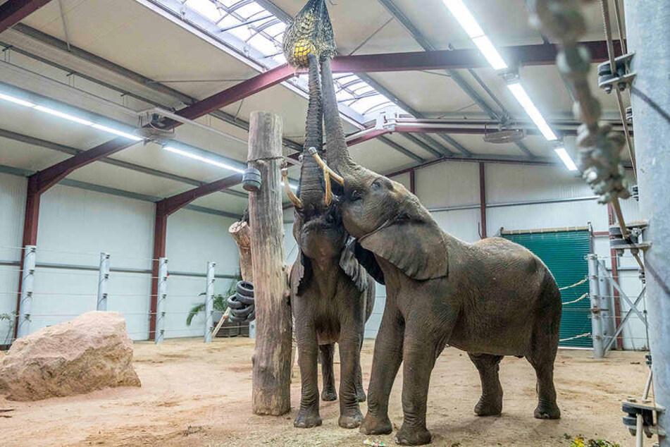 Den Elefanten geht es in ihrem Interimsbau gut. Wenn alles nach Plan läuft, ziehen sie im nächsten Frühjahr ins Afrika-Haus.