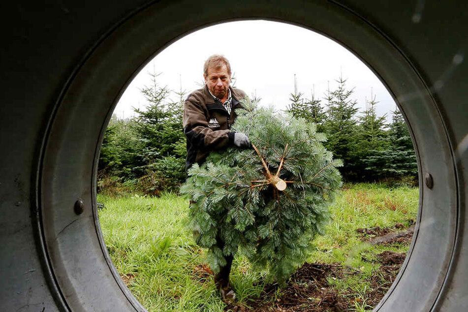 Waldbauer Eberhard Hennecke mit einem frisch geschlagenen Weihnachtsbaum. Sechs bis sieben Millionen Tannenbäume werden allein im Sauerland gefällt.