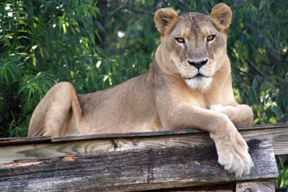 Knapp 40 Grad! Löwe stirbt nach heftiger Hitzewelle