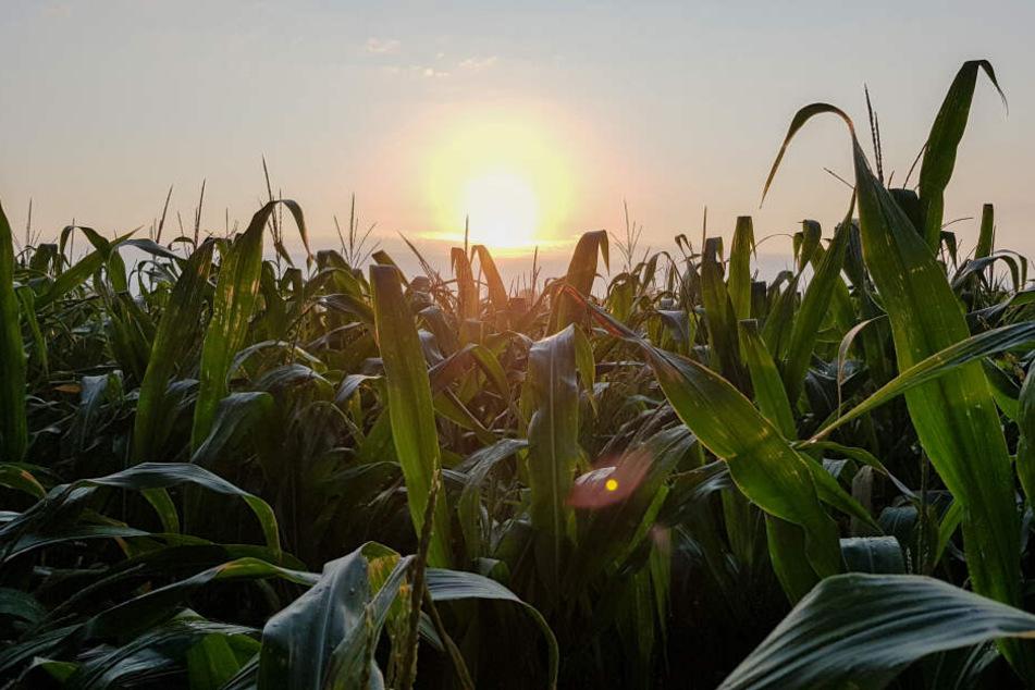 Es kommt immer wieder vor, dass Maisfelder manipuliert werden. (Symbolbild)
