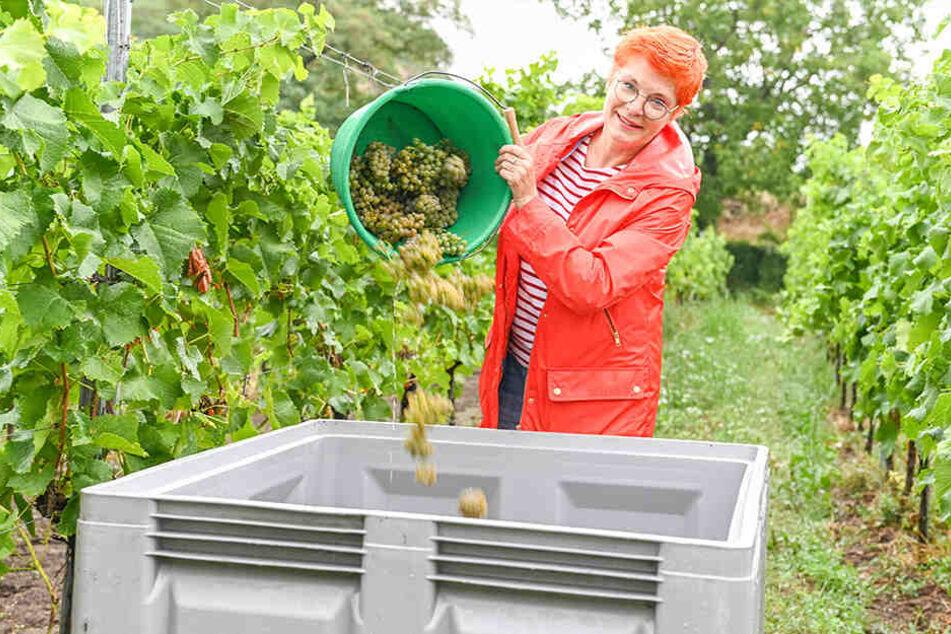 Der volle Eimer wird in die große Erntebox entleert.