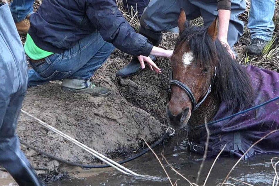 Das Pferd versank bis zum Bauch in Schlamm und Wasser.