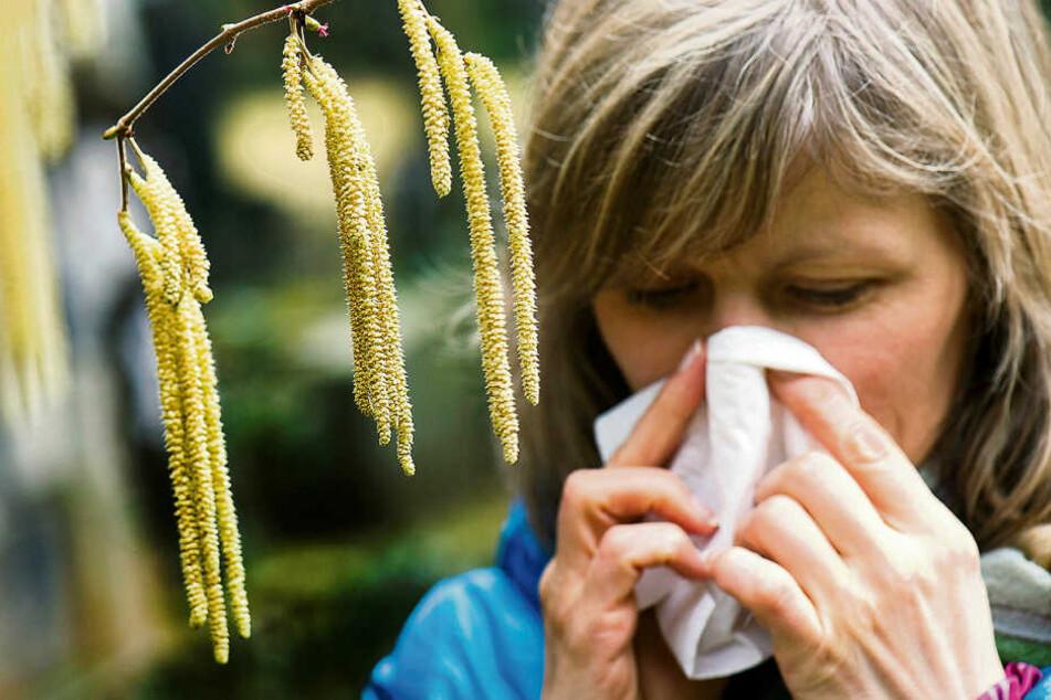 Die Haselpollen sind bereits seit Mitte Februar unterwegs, und lassen die Nasen der Allergiker laufen.