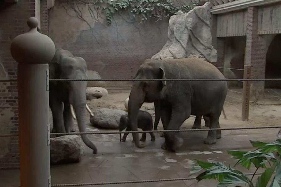 """Hier begegnet Leipzigs Babyfant erstmals seinem Papa """"Voi Nam"""" (links)."""
