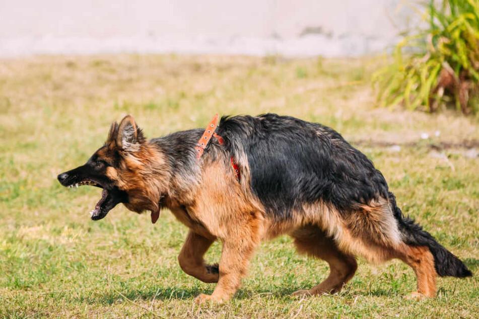 Der Schäferhund entwich durch ein offenes Tor und fiel über einen Jack Russell Terrier und dessen Frauchen her. (Symbolbild)