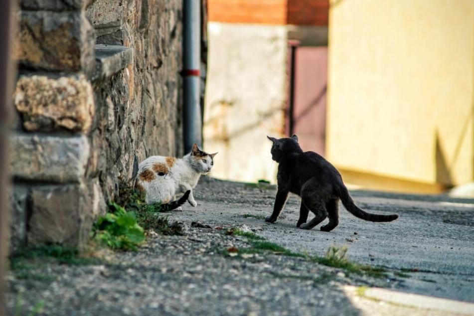 Die Katzengeräusche während eines Revierkamps klingen manchmal wie Babygeschrei.