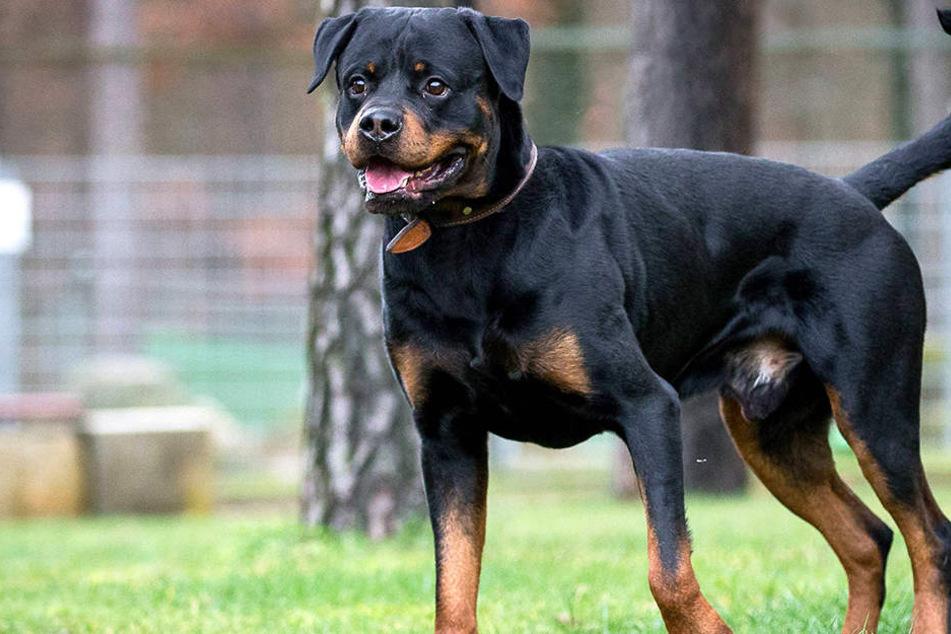 Ein Rottweiler fiel ein fünf Jahre altes Kind in Dortmund an.