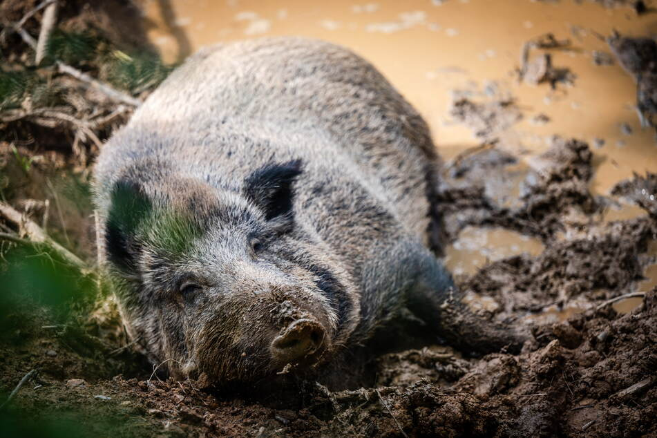 Die Wildschweine fühlen sich in ihrem großen naturnahen Gehege sauwohl.