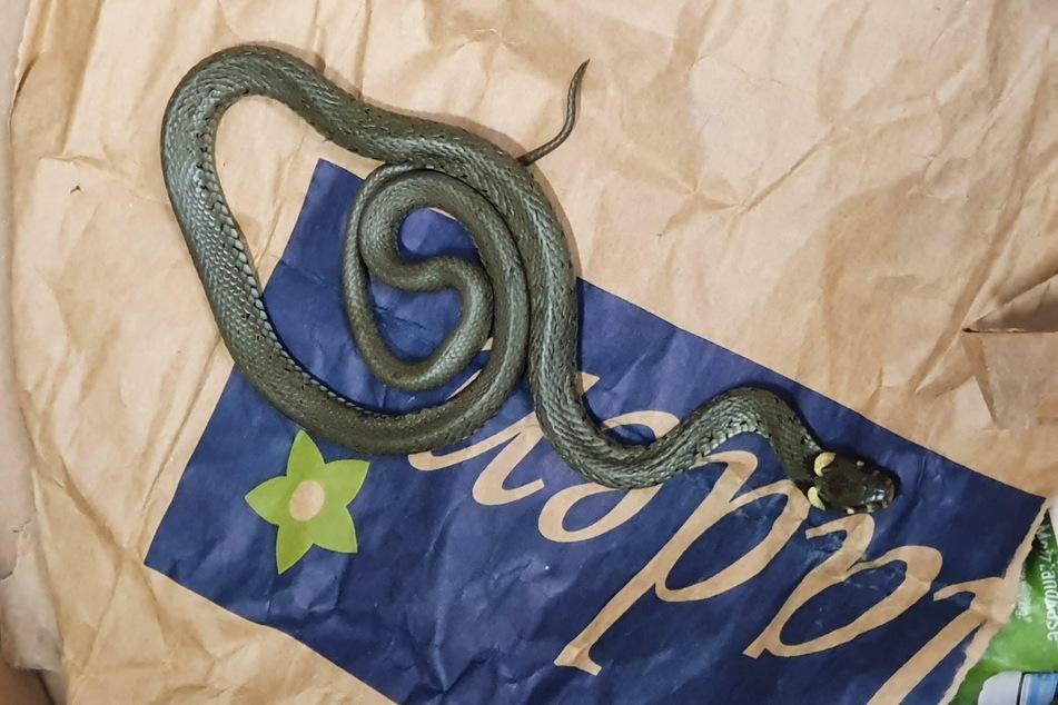 Das Duo erklärte, die Schlange von einem Freund geschenkt bekommen zu haben.