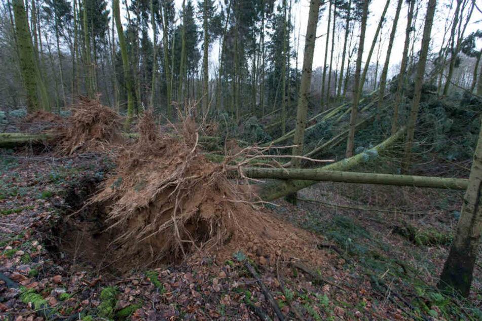 Umgeknickt Bäume lagen auch in einem Wald in Bielefeld.