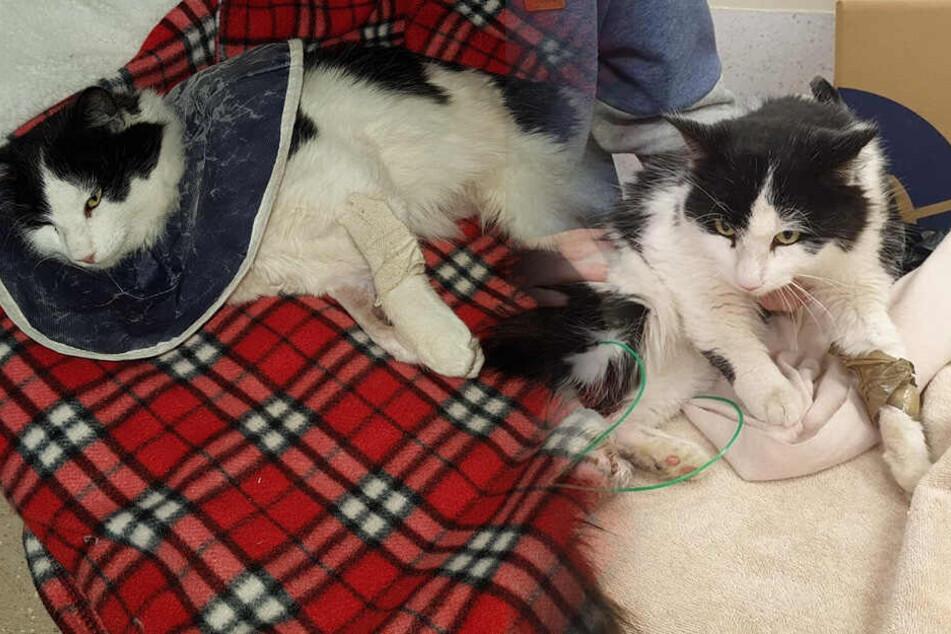 Sie wimmerte nur noch! Tierhasser quält Katze derart brutal, dass ihr Bein amputiert werden muss