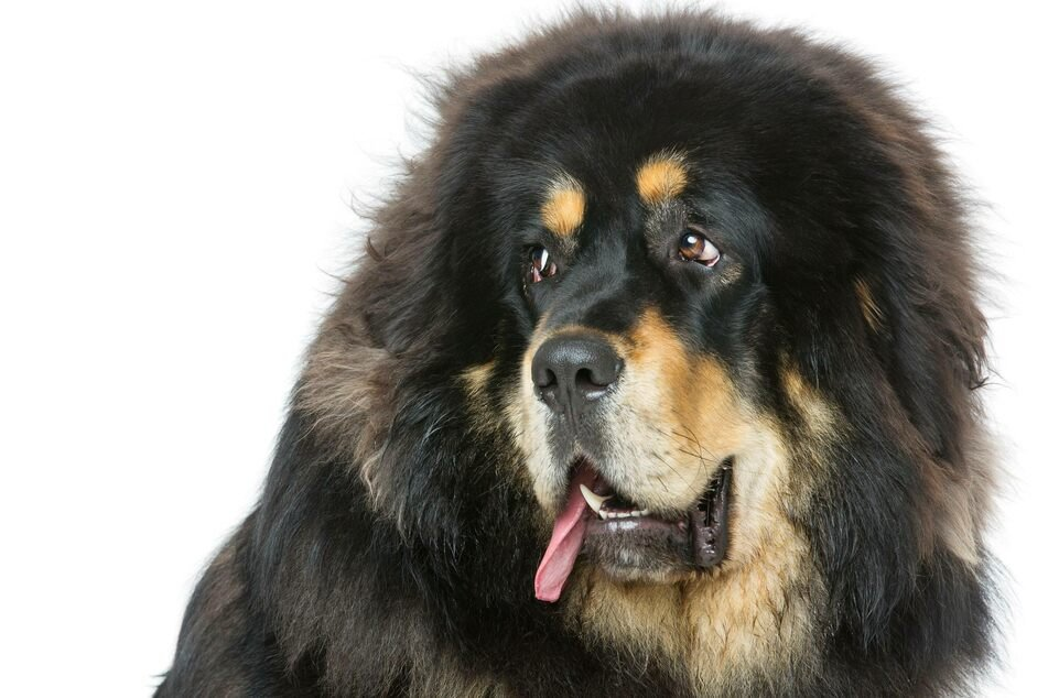 The Tibetan Mastiff is the world's most expensive dog breed.