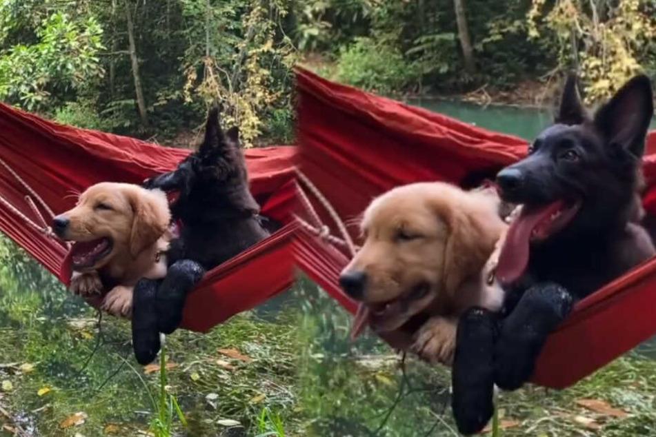 Hunde lassen ihre Pfoten baumeln: Sehen wir hier das süßeste Tiervideo des Jahres?