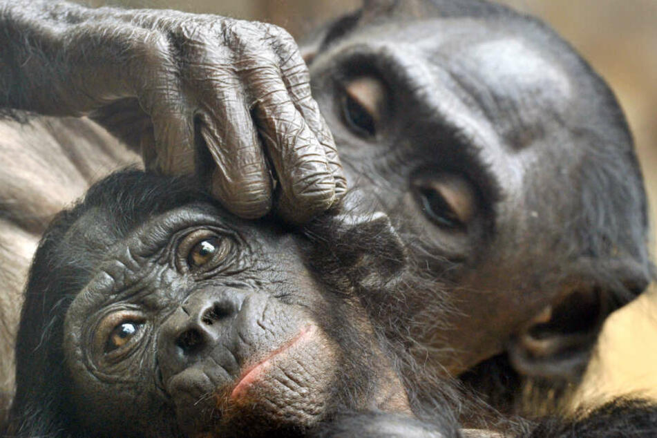 Wegen seiner Forschung an Affen geriet Logothetis in Kritik. (Symbolbild)