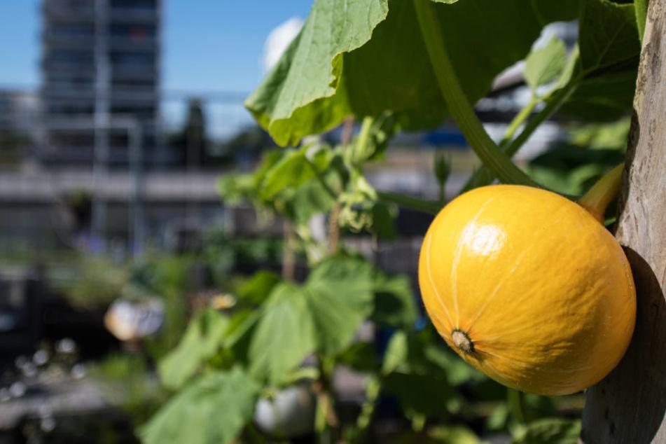 Urban Gardening: Ein Kürbis reift in der Stadt.