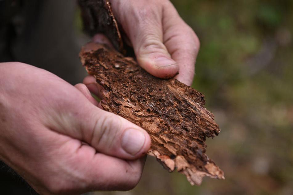 Die Schädlinge bohren sich in die Rinde von noch lebenden Bäumen und legen dort ihre Eier ab.