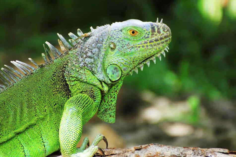 Leguane, wie dieser, könnten derzeit vermehrt in Florida von den Bäumen fallen (Symbolbild).