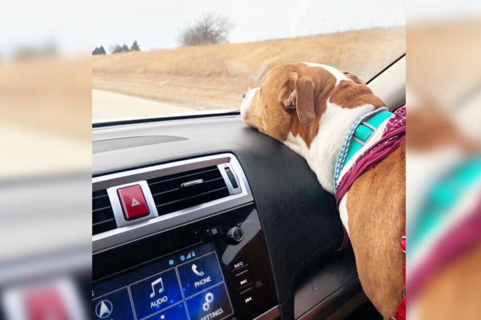 Hund Zeus wurde mit verschiedenen Autos zurückgebracht.