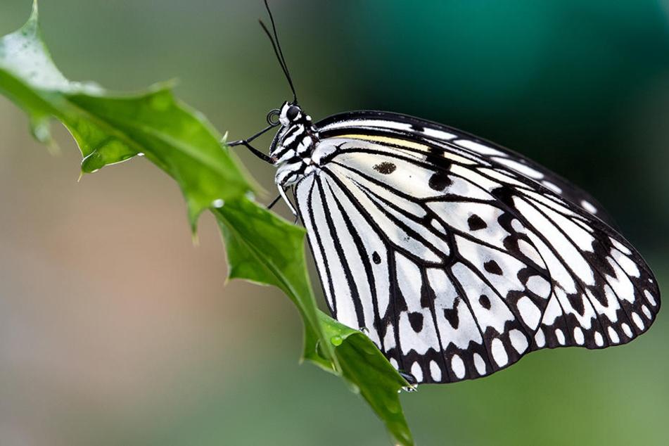 Borna soll zur Schmetterlingsstadt werden.