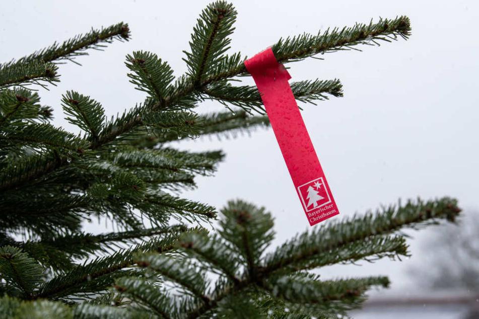 """Das Siegel des Verbands """"Bayerischer Christbaum"""" hängt an einem eingenetzten Christbaum auf einer Christbaumkultur."""