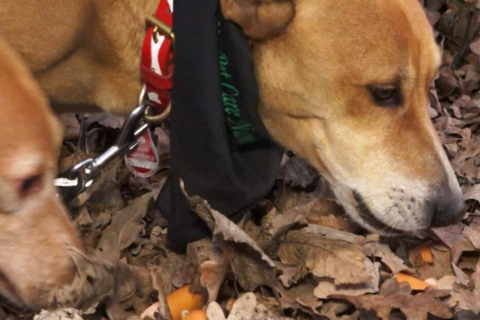 Würstchen mit Nägeln gespickt! Hundehasser sorgt für Angst und Schrecken