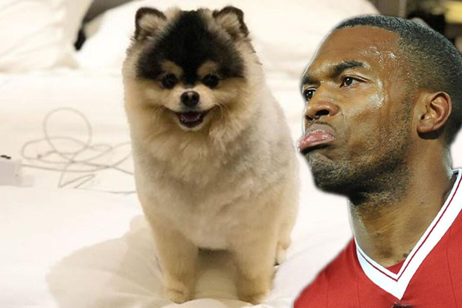 Nach Einbruch in Luxus-Villa von Fußball-Star: Entführter Hund ist wieder da!
